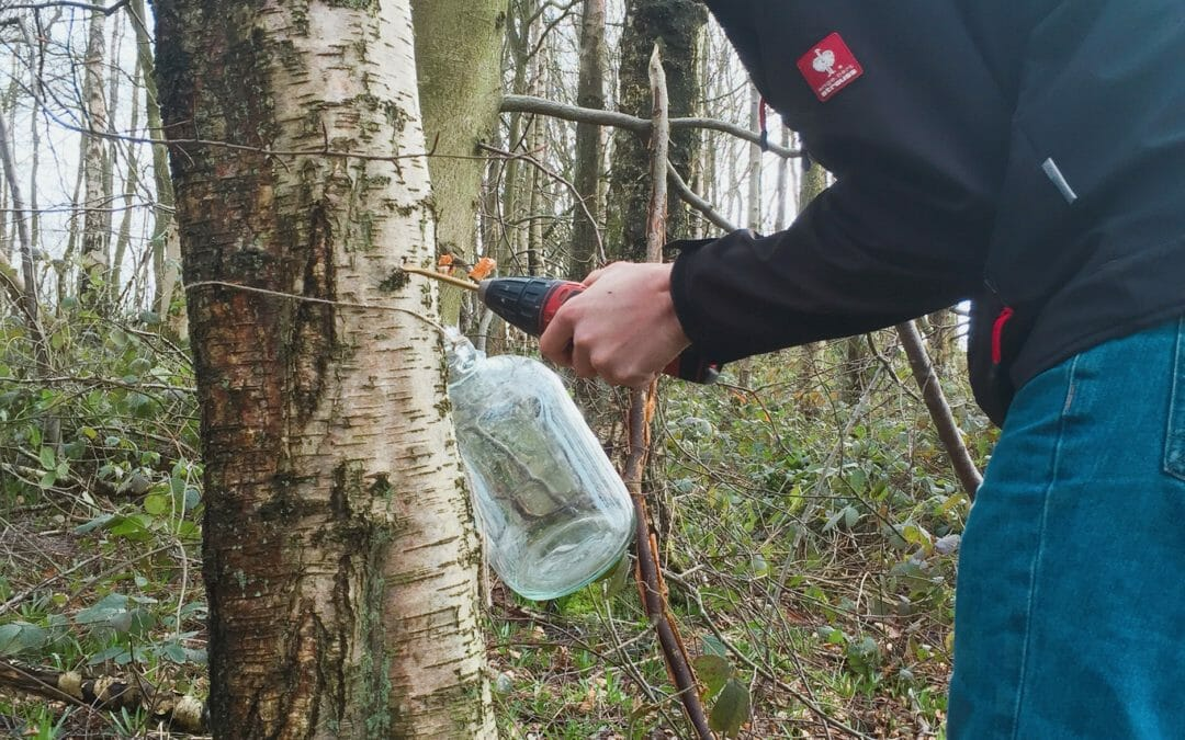 How to Tap a Silver Birch Tree For Water