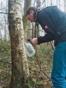 Drilling for silver birch water